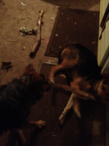 It's hard to tell, but they were playing tug of war with a branch last night. Fools.