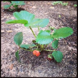 Little strawberries