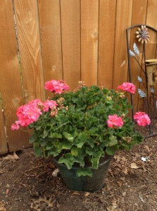 My geraniums are doing so much better in this pot instead of the hanging baskets (good call, mom)