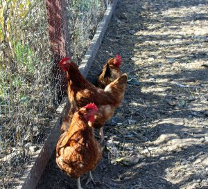 Visiting some chickens on the Frog's Leap property