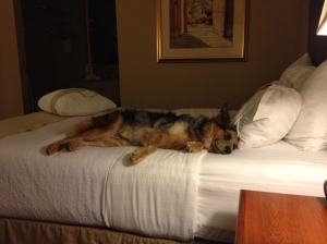 The only bit Wrigley slept in El Paso was right when we checked in. Oh, pup.