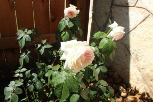 New roses
