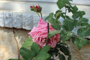 New blooms from the rose bush we planted last spring