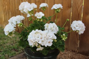 Need a low maintenance plant? Get geraniums.
