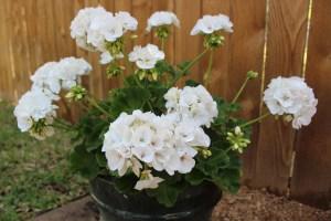 Need a low maintenance plant? Get geraniums.
