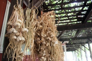 They have an amazing garden at Frog's Leap, here's the garlic they had recently harvested.