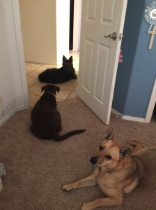 Penny, Molly, and Wrigley loved keeping me company at home